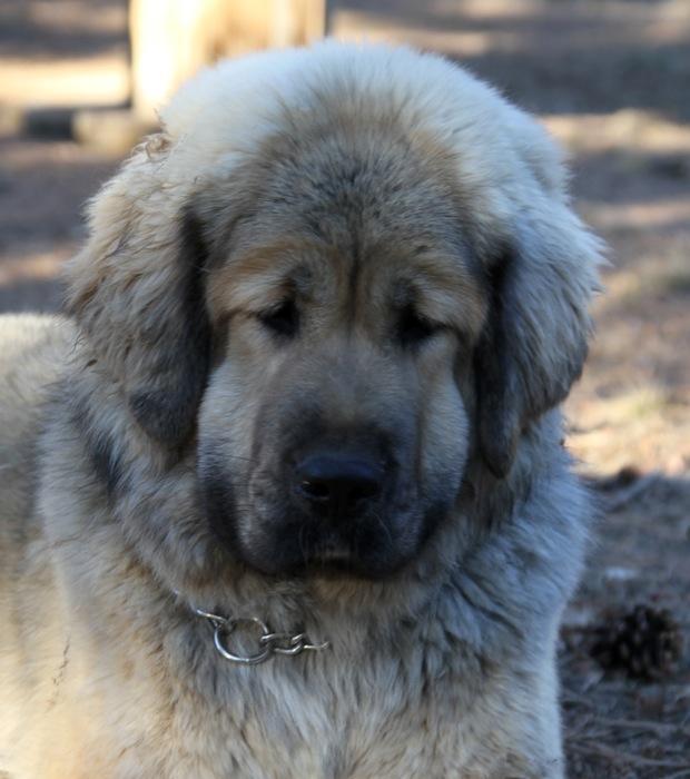 Tibetan Mastiff Information, Tibetan Mastiffs, Tibetan Mastiff